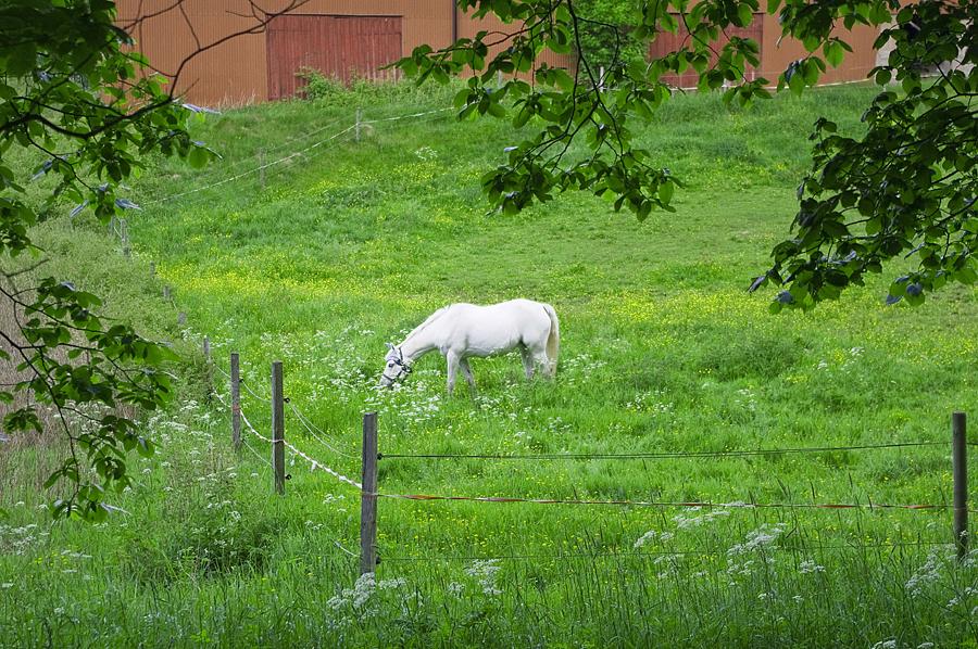 Vit häst utan riddare